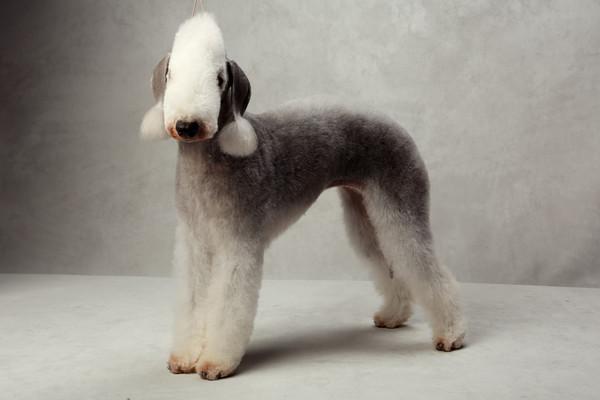 Has A Basset Hound Ever Won The Westminster Dog Show